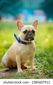 Close up portrait of a French Bulldog in nature