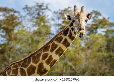 Close up portrait of a funny giraffe eating, isolated against the blue sky.