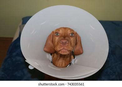 Close up portrait of funny Vizsla dog sitting with pet plastic Elizabethan collar