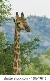 Close up portrait of a giraffe in the bush