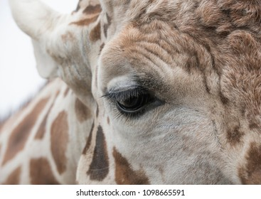 Close up portrait of Giraffe's face and eye