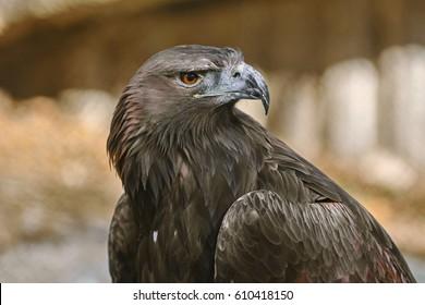 Close up Portrait of Golden Eagle (Aquila Chrysaetos Canadensis)