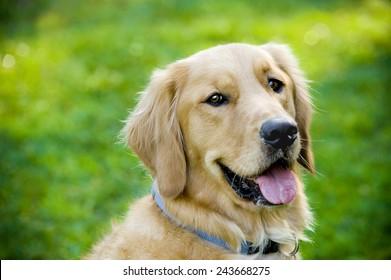 Close up portrait of a golden retriever sitting in a grassy field