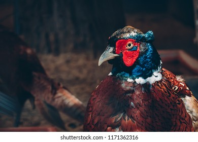 Close up portrait of gorgeous colorful pheasant with bright red and blue feathers