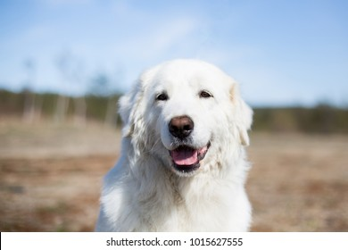 Close up Portrait of gorgeous maremma sheepdog. Big white fluffy female dog posing in the field on blue background