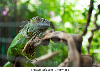 Close up portrait of green iguana chameleon relaxation on timber wood with tree blurred background.
