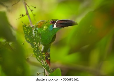 Close up portrait of green toucanet, Crimson-rumped Toucanet Aulacorhynchus haematopygus, perched on diagonal twig in rainforest, staring directly at camera aganist  blurred, green forest background.