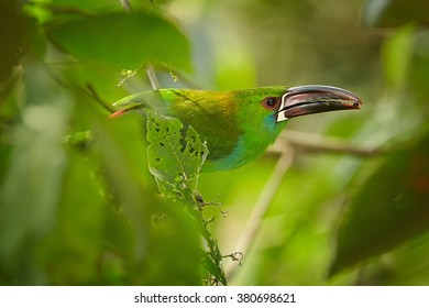 Close up portrait of green toucanet, Crimson-rumped Toucanet Aulacorhynchus haematopygus, perched on twig in rainforest with fruit berry in large bill.