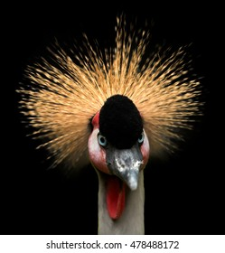 Close up portrait of Grey crowned crane, Balearica regulorum, african bird with crown of stiff golden feathers, staring directly at camera,isolated on black background. Uganda, Murchison falls, Africa