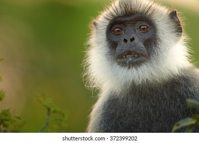 Close up portrait of grey monkey Hanuman Langur Semnopithecus entellus, in early morning backlight making gold contour on its fur in Sri Lanka rain forest. Blurred colorful abstract background.