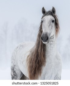 Close up portrait of grey Pure Spanish Horse with long mane.