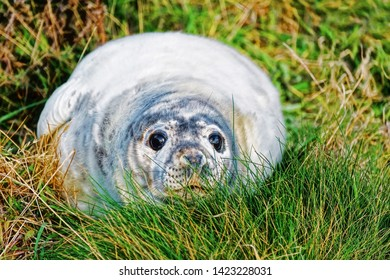Close up portrait of a grey seal pup lying comfortably in green grass near the shore