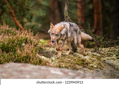 Close up portrait of a grey wolf (Canis Lupus) also known as Timber wolf displaying an agressive facial dominant expression in the Canadian forest during the summer months