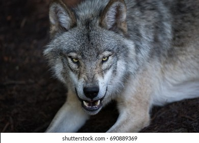 Close up portrait of a grey wolf (Canis Lupus) also known as Timber wolf displaying an agressive facial dominant expression in the Canadian forest during the summer months.