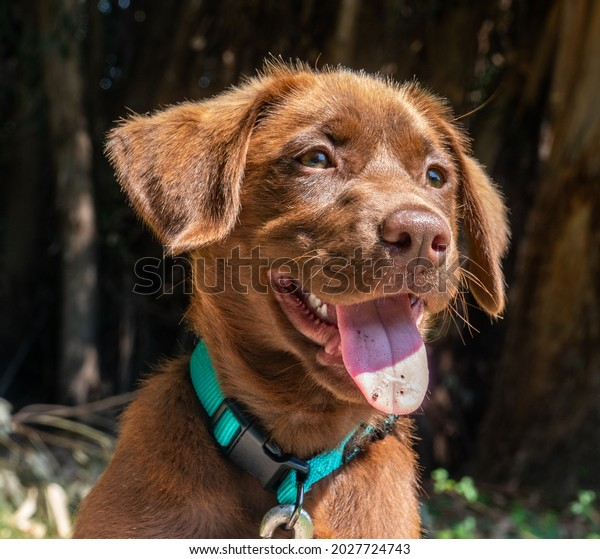 Close up portrait of a happy young Chocolate Labrador (Lab) Retriever puppy with collar.