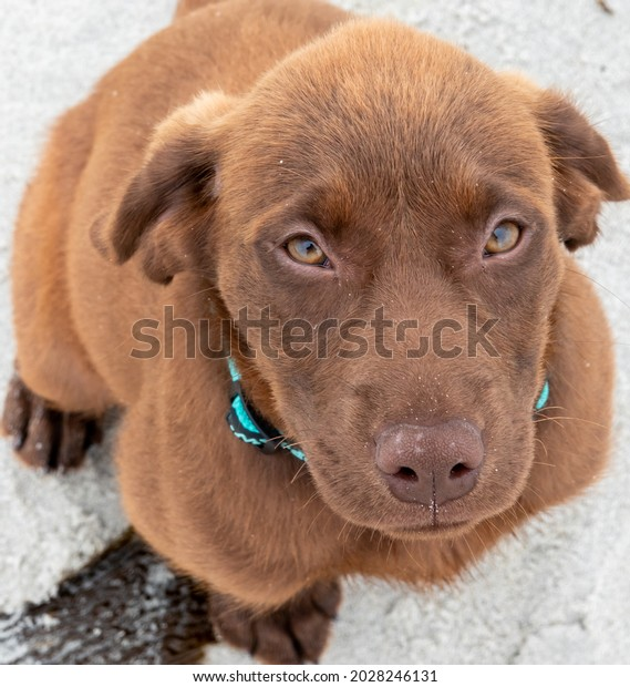 Close up portrait of a happy young Chocolate Labrador (Lab) Retriever puppy with collar looking up.