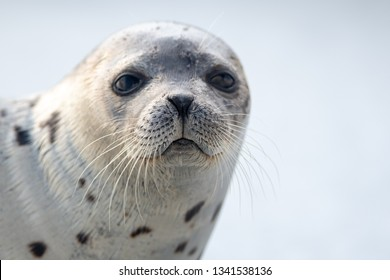 A close up portrait of a harp seal with long whiskers, dark eyes, and a heart shaped nose. The animal has a grey coat with dark spots. It is staring at the photographer with sad look on its face.