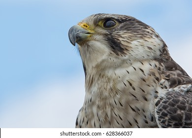 Close up portrait of the head of a peregrine saker hybrid falcon looking up from below against the sky