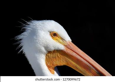 Close Up Portrait Head Shot Of American White Pelican