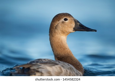 A close portrait of a hen Canvasback duck as she swims in bright blue water on a sunny day.