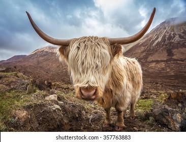 Close up portrait of a Highland Cattle at the Glamaig mountains on Isle of Skye, Scotland, UK