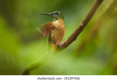 Close up portrait of hummingbird Fawn-breasted Brilliant  Heliodoxa rubinoides cervinigularis perched on twig behind green blurred leaves. Blurred tropical yellow and green background. Ecuador.