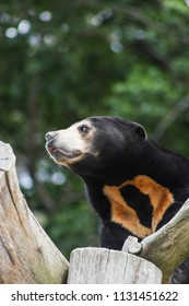 Close up portrait image of a Asian Sun Bear (Helarctos malayanus)