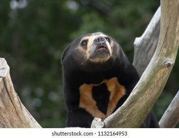 Close up portrait image of an Asian Sun Bear (Helarctos malayanus)