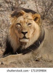 Close up portrait of an impressive black mane male lion in the kgalagadi  transfrontier park
