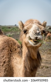 Up Close Portrait of an Indian Dromedary Camel in the Thar Desert