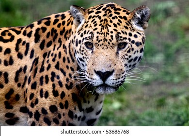 Close up portrait of Jaguar (Panthera onca)