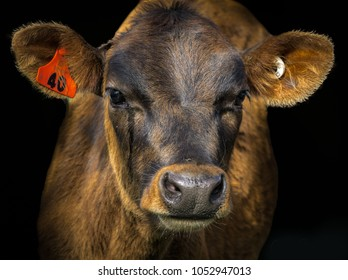 A close up portrait of a jersey calf with a black background.