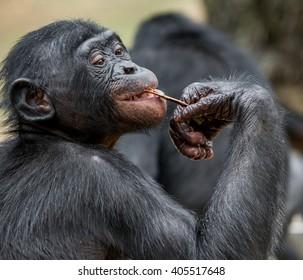 Close up Portrait of a juvenile bonobo. Cub of a Chimpanzee bonobo ( Pan paniscus).  Democratic Republic of Congo.