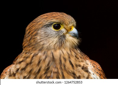 Close up portrait of a kestrel falco tinnunculus isolated on a black background
