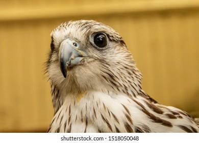 Close up portrait of a kestrels head.