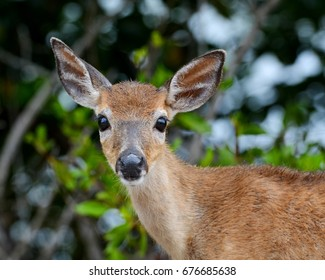 A close up portrait of a Key Deer Doe (Odocoileus virginianus clavium), in natural habitat,  an endangered species found on Big Pine Key in the Florida Keys.