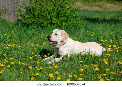 Close up portrait of Labrador dog lying on grass among dandelions, in nature.