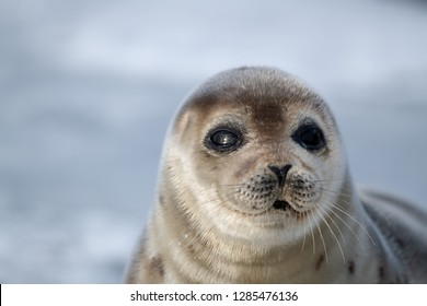 A close up portrait of a large adult harp seal. Its eyes are dark, nose is heart shaped and its whiskers are long. The saddleback seal looks attentive. It has a light colored tan fur with dark spots.