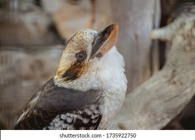 Close up portrait of a Laughing Kookaburra sitting on a tree and looking at the camera.