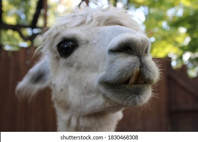 Close up portrait of a llama - New Castle, Pennsylvania, October 2, 2020