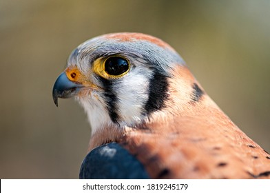 Close up portrait of Male American Kestrel looking at camera.