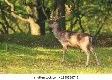 Close up portrait of a male fallow deer stag, Dama Dama, standing in a dark green forest during Autumn season.