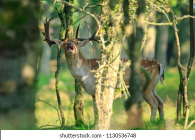 Close up portrait of a male fallow deer stag, Dama Dama, showing rutting behaviour deep hidden in a dark green forest during Autumn season.