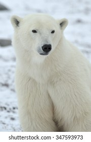 Close up portrait Male polar bear (Ursus maritimus) on the snow white natural background