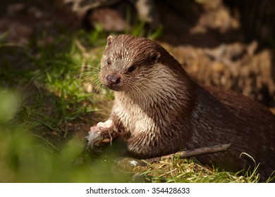 Close up portrait of  male wild  European Otters  Lutra lutra  successfully catched fish and eat it on the bank of small lagoon among roots.   Low angle photo, spring, afternoon soft light.