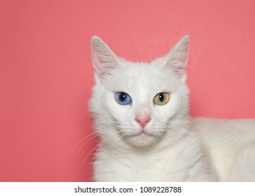 Close up portrait of a medium hair white cat with heterochromia, or odd eyed. One blue eye one yellow green. Pink background with copy space.
