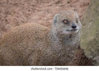 A close up portrait of a mongoose looking alert and slightly to the right with sand in the background and detailed eyes