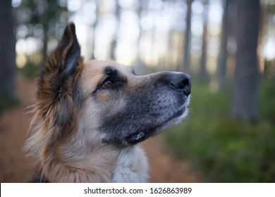 Close portrait of a mongrel dog taken from animal shelter. Detail of a dog's face. Eyes show expression of unconditional love and trust between human and animal.