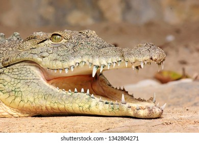Close portrait of Nile Crocodile (Crocodylus niloticus)