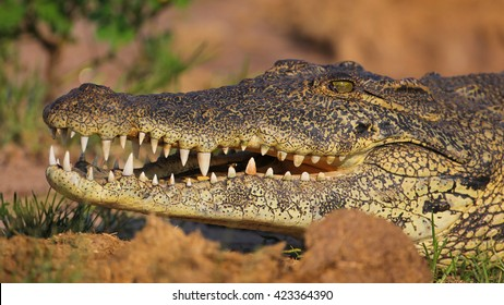 Close portrait of Nile crocodile mouth and teeth